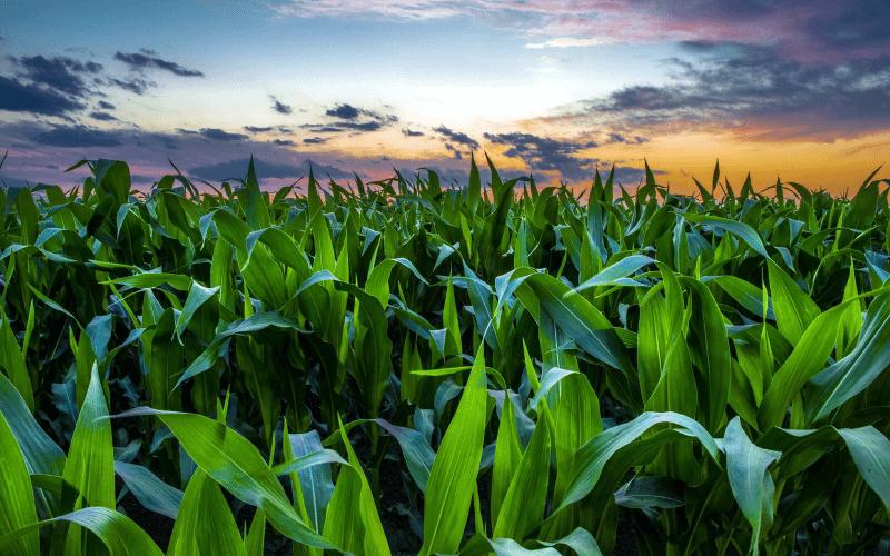 кукурузное поле на рассвете